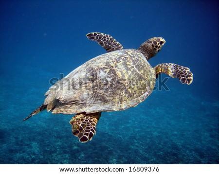 Underwater world. Sea turtle near Gili Meno. Lombok island. Indonesia - stock photo