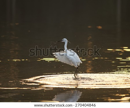 unfocused egret play in water land - stock photo