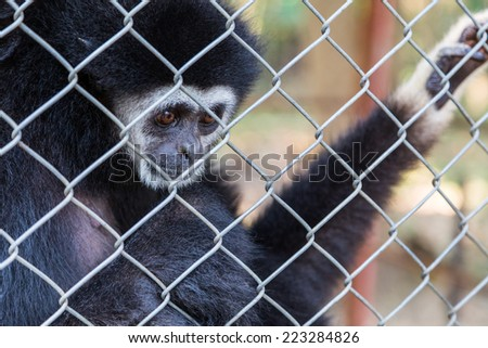 unhappy expression gibbon in cage