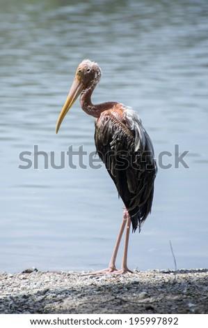 Unhealth Egret at the lake - stock photo