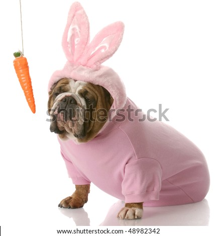 unimpressed looking english bulldog dressed up as easter bunny sitting beside carrot dangling on a string with reflection on white background - stock photo