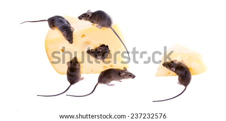 Uninvited dinner ordinary house mice on a piece of cheese. Isolated on white background - stock photo