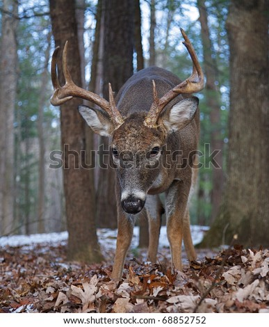unique close-up, wide angle perspective, Whitetail Buck Deer in Oak forest;  Smoky Mountains National Park Tennessee North Carolina white tail / white-tailed / white-tail / white tailed / whitetailed - stock photo