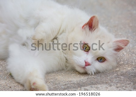 unique double color eye White cat portrait