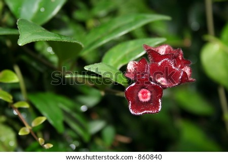 Unique Wine red flower - stock photo