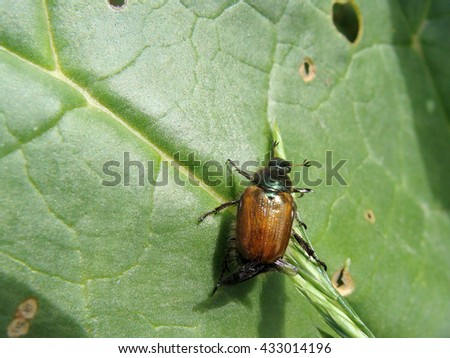 Unknown bug eat rhubarb leaves close up macro.                                - stock photo