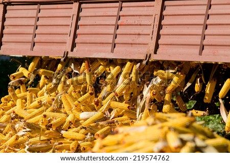 Unloading corn cob from trailer on farm - stock photo