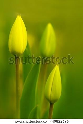 Unopened tulip flowers in spring, shallow depth focus - stock photo