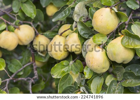 Unpicked quinces in the fruit garden