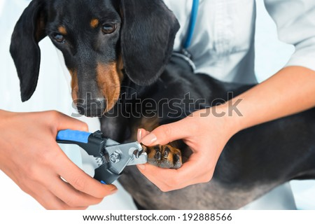 Unrecognizable woman doctor veterinarian is trimming dog dachshund nails - stock photo