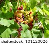 Unripe grapes and vine leaves close up - stock photo