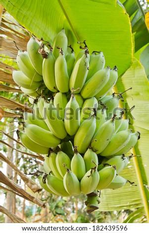 Unripe plump bananas on the banana plant  - stock photo