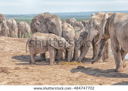 Unusual behavior - several elephants eating fresh dung of an elephant cow