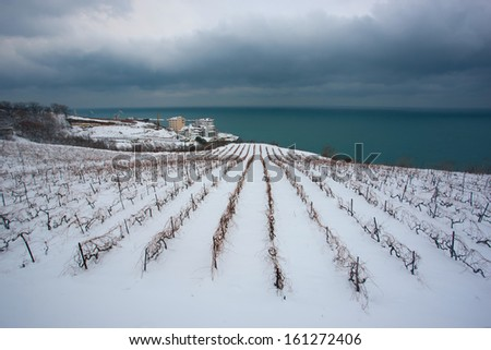 Unusual image of a wineyard during winter time - stock photo