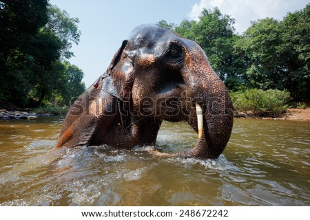 Unusual perspective of the Indian elephant which bathes in the river - stock photo
