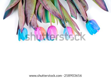 Unusual rainbow tulips for border or frame - stock photo