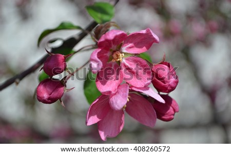 Unwonted red blooming apple tree. Unusual  red flowers of the apple tree. - stock photo
