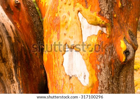 Up close and personal with the Madrona Tree and her bark - stock photo