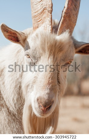 Up Close Portrait of a Saanen Goat as it looks straight in to the camera.