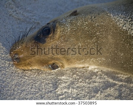 Up close with a sea lion in the Galapagos Islands - stock photo