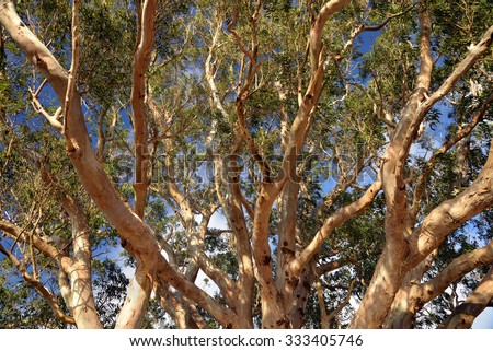 up through the branches of a eucalyptus tree