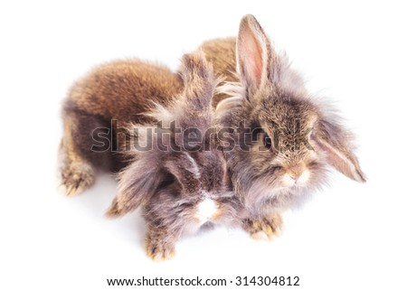 Up view of two adorable lion head rabbit bunnys sitting together on isolated background.