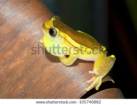 Upper Amazon Treefrog (Dendropsophus bifurcus) Calling male with distended vocal sac