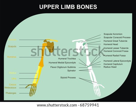 Upper Limb Bones of Human Body - All Major Bones (clavicle, scapula, humerus, clinic, radius, ulna, carpus, metacarpus, phalanges), and basic marks on the bones, for clinics & educational use - stock photo