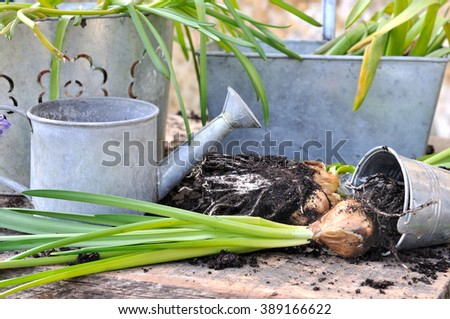 uprooting flower bulbs in front of metal pots  - stock photo