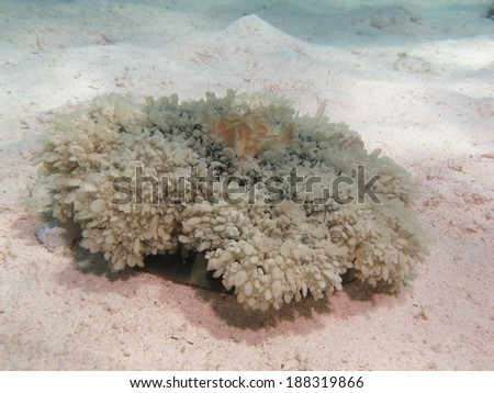 Upside-down jellyfish (Cassiopea andromeda, schyphozoa) on sand - stock photo