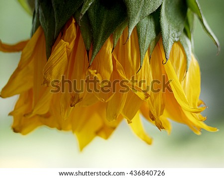 Upside down sunflower bud green mustard yellow photograph photo macro up-close background backdrop beautiful pretty unique design  - stock photo