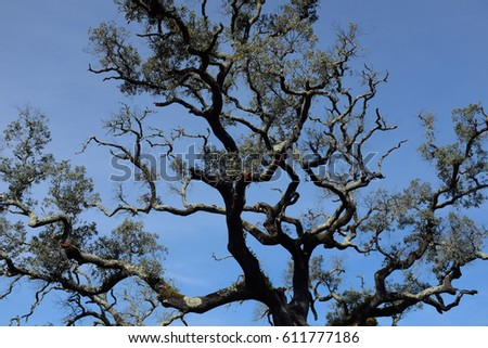 Upward perspective view of tall Holm oak tree with backlit sunlight wallpaper. Tree tops converging into the sky. Nature green wood forest, canopy of green trees background.