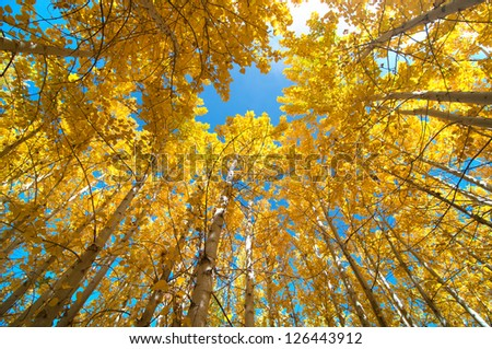 Upward view of Fall Aspen Trees - stock photo