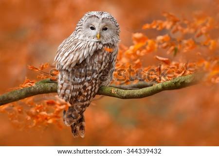 Ural Owl, Strix uralensis, sitting on tree branch, at orange leaves oak forest, Sweden - stock photo