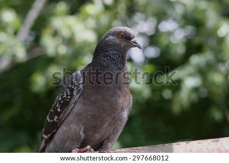 Urban bird. Large adult grey dove.