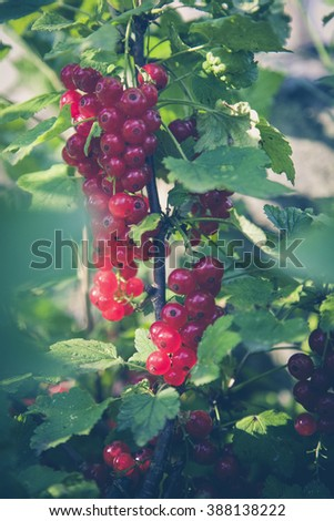 urban gardening red currant - stock photo