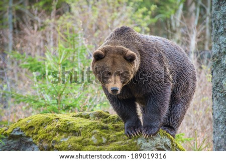 Ursus Arctos in a rock