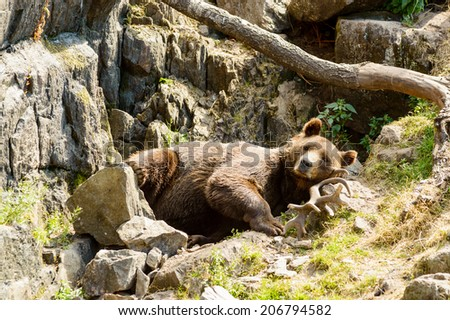 Ursus arctos, or the brown bear. Here resting on moose antlers in rocky terrain. - stock photo