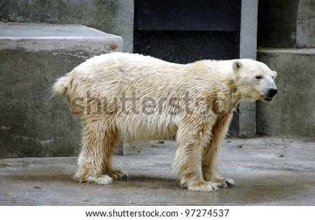 Ursus maritimus commonly known as polar bear in the zoo