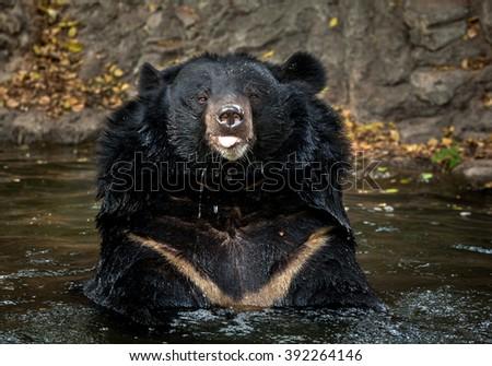 Ursus thibetanus - stock photo