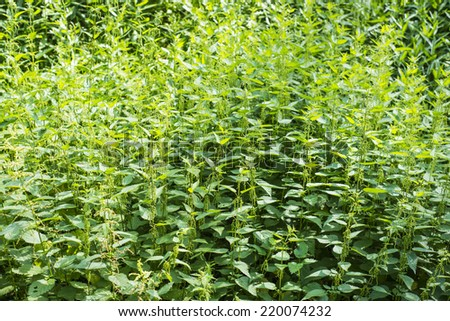 Urtica dioica dense green background, common nettle - stock photo