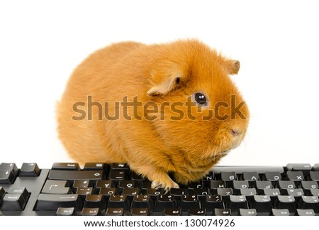 US-Teddy Guinea with keyboard, side view - stock photo