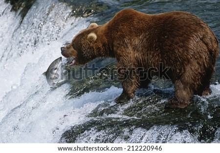 USA, Alaska, Katmai National Park, Brown Bear catching Salmon in river, side view - stock photo