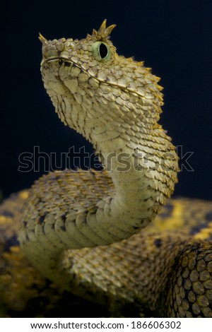 Usambara horned viper / Atheris ceratophora - stock photo