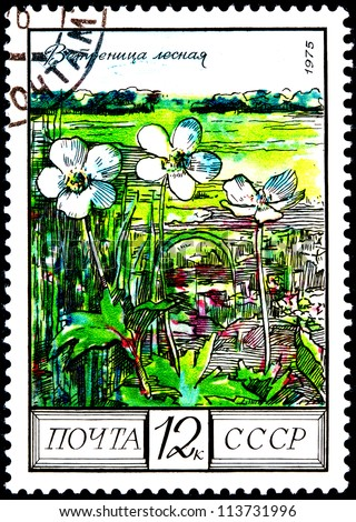 "USSR - CIRCA 1975: A Postage Stamp Shows Image of a Wood Anemones with the Designation ""Anemone Nemorosa"", circa 1975"
