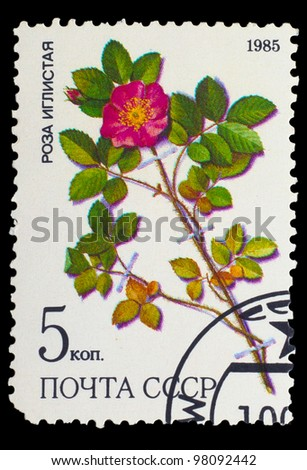 USSR - CIRCA 1985: a stamp from USSR, shows prickly rose (Rosa acicularis lindi), medicinal plant from Siberia, circa 1985 - stock photo
