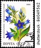 USSR - CIRCA 1988: A stamp printed in USSR shows Giant Bellflower, Campanula latifolia, circa 1988. - stock photo