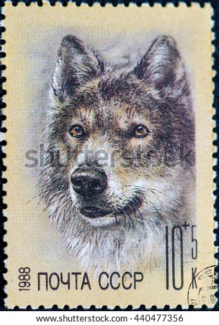 USSR - CIRCA 1988: Postage stamp of the USSR with the image of the wolf. A series of postage stamps help Fund zoos 1988. - stock photo