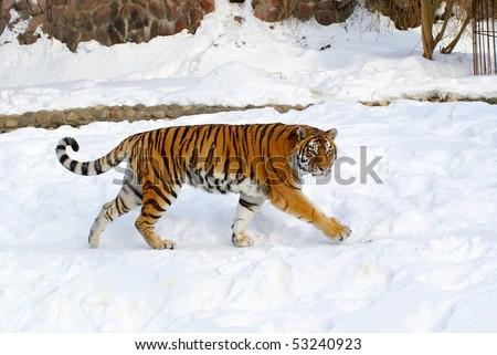 Ussuriisk tiger - stock photo