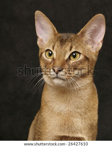 Usual Abyssinian - stock photo